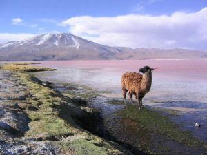 Voyage_Bolivie_Lama_Lagune_Colorado_Potosí