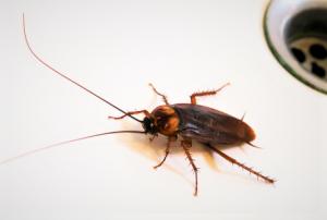 Cafards noir ce qu'il faut savoir sur cet insecte